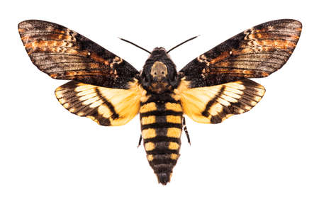 Female Death's head hawk-moth (Acherontia atropos) isolated on white background