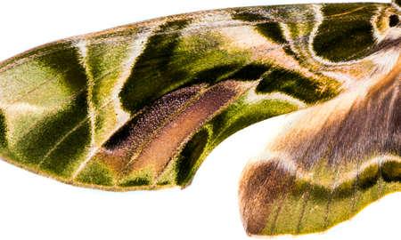 Female oleander hawk-moth (Daphnis nerii) wing detail isolated on white background  Stock Photo
