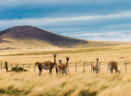 Four curious guanaco lamas (Lama guanicoe) in the endless grass pampas of Argentina 免版税图像