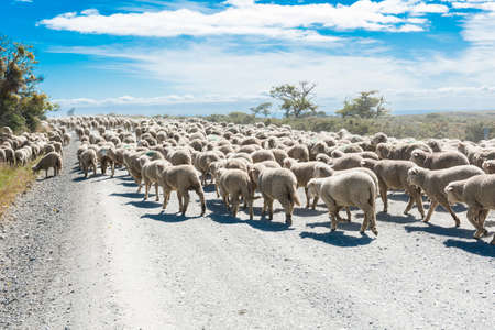 Large herd of merino sheep on the road to farm in Tierra del Fuego, Argentina