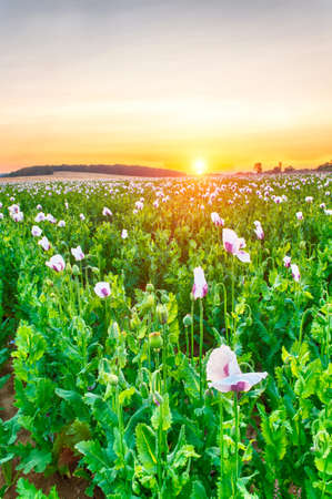 Beautiful vivid sunset over a field of white blooming poppy
