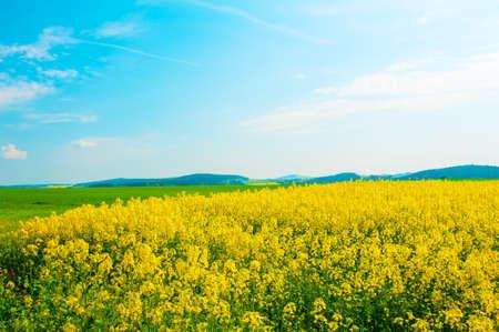 Beautiful rural landscape of blooming rape fields