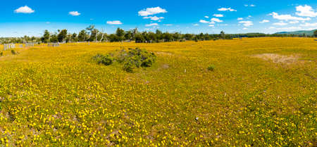 Meadow full of blooming yellow flowers in Tierra del Fuego in Argentina. Panorama picture