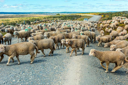 Herd of merino sheep on the road to farm in Tierra del Fuego, Argentina