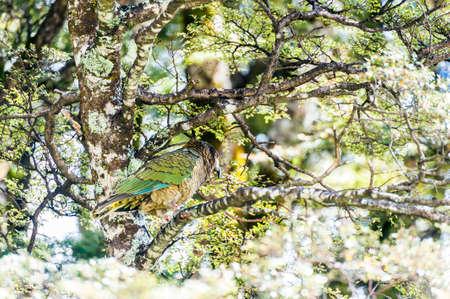Nestor Notabilis, Kea is an endemic mountain parrot in Arthurs Pass - Southern Alps, New Zealand. It is a very smart, omnivorous bird  Stock fotó
