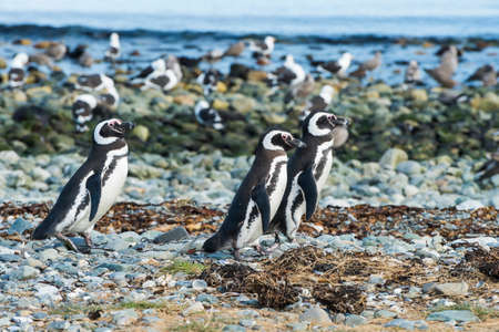 Three wild Magellanic penguins (Spheniscus Magellanicus) walking on a coast of Magdalena island, Chile Banque d'images