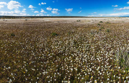 Meadow full of blooming white daisy flowers in Tierra del Fuego in Argentina. Panorama picture Stock Photo