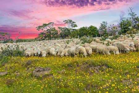 Sunset over herd of merino sheep in Tierra del Fuego, Argentina Stock Photo