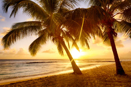 Beautiful sunset over the sea with a view at coconut palms on the white beach on a Caribbean island of Barbados