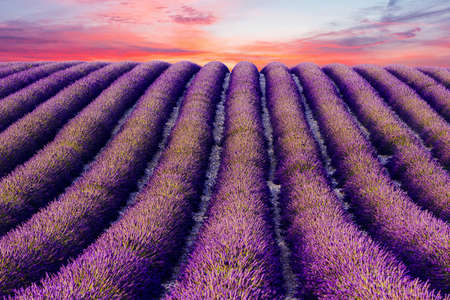 Sun is setting over a beautiful purple lavender filed in Valensole. Provence, France Imagens