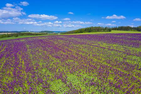 Blooming flowers of purple poppy (Papaver somniferum) field on a hill