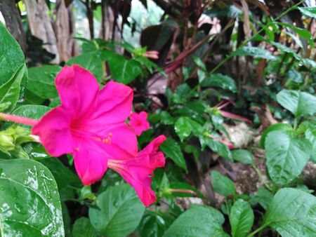 natural photo of the green leaves and pink flower. pink flower in the garden or outdoor