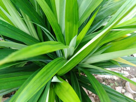natural photo of the green leaves.pandan green leaf in the garden or outdoor Stock Photo