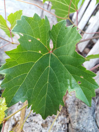 natural photo of the grape leaf in the garden