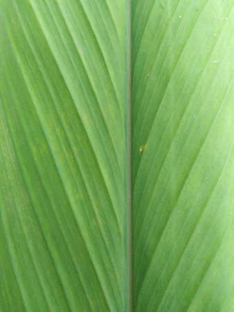 natural photo of the turmeric leaf in the garden