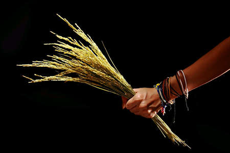 Hand holding rice stalks. Gawai is celebrated by Dayaks in Sarawak, Malaysia.