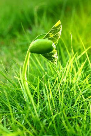 Green bean growing up in the garden
