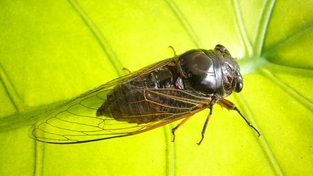 tendons: Cicada cicada in the cover the light leaves Stock Photo