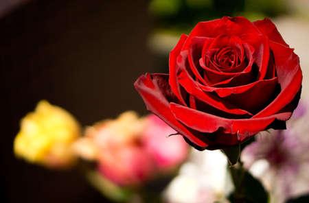 Red Rose Фото со стока - 60237143