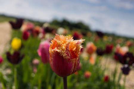 gelb: Tulip in tulip field