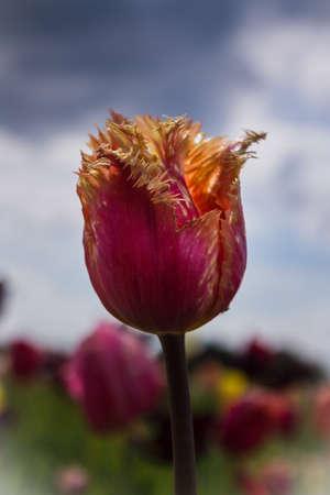 pflanze: Red Yellow Tulip Stock Photo