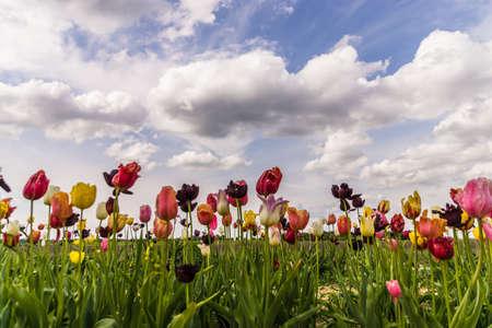 gelb: Tulip field as landscape
