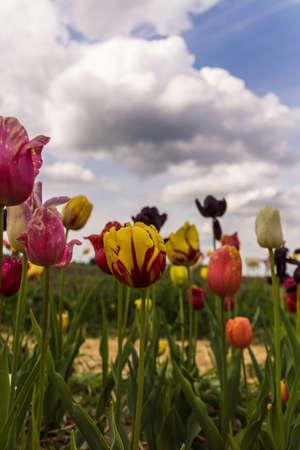 gelb: Tulip field Stock Photo