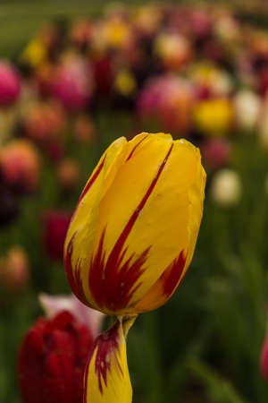 Tulip in tulip field Фото со стока - 60237280