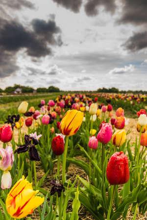 pflanze: tulip fields