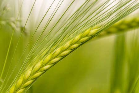 pflanze: wheat culm