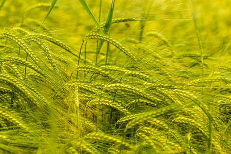 feld: wheat stalks Stock Photo