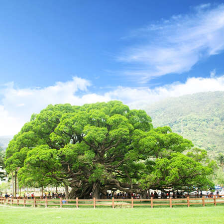 banyan tree on blue sky