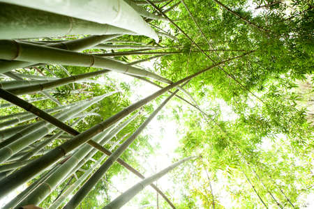 patterns japan: bamboo forest  Stock Photo