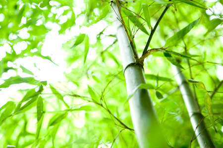 green bamboo: bamboo forest  Stock Photo