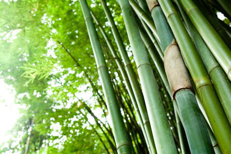 bamboo forest: bamboo forest  Stock Photo