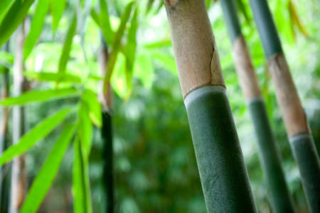 bamboo forest  Stock Photo