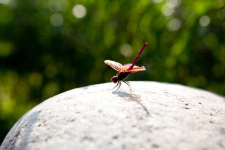rudy: red dragonfly
