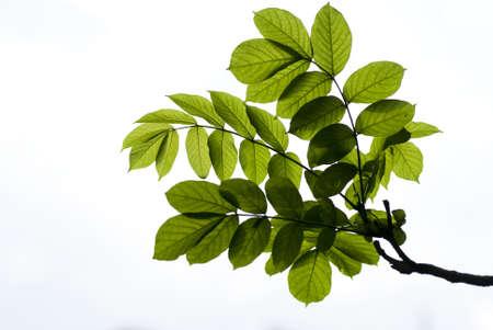 緑の葉の白い背景で隔離
