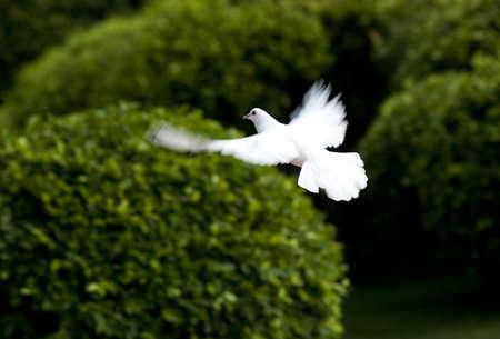 비행에 흰색 비둘기