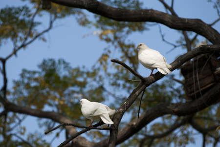 White Dove on tree