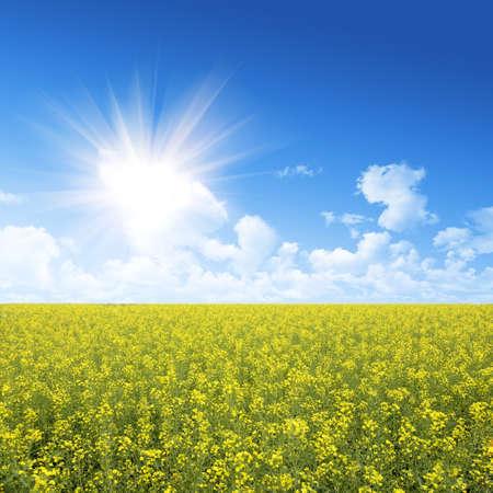 rapeseed field  Standard-Bild