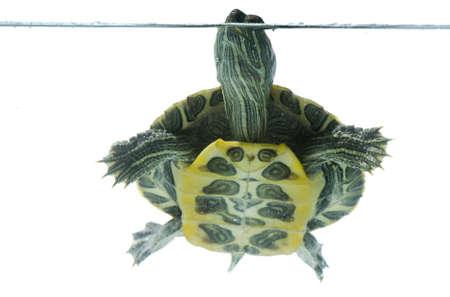 weightlessness: swimming turtle