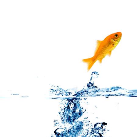 peces de colores: peces de oro en el agua