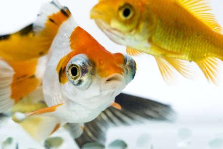 tropical tank: golden fish in water