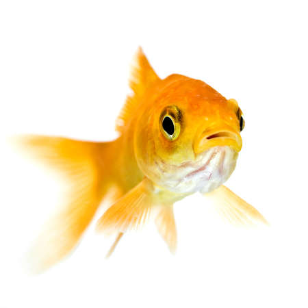 golden fish in water photo