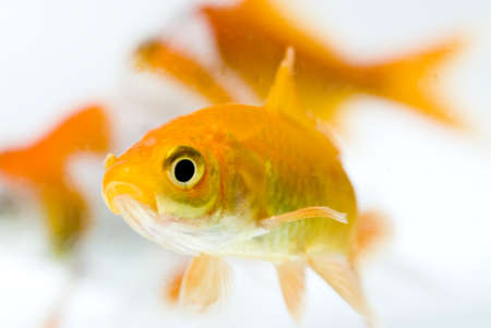 golden fish in water Stock Photo - 11938495
