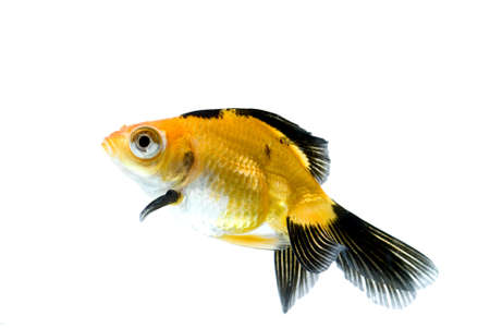 golden fish in water Stock Photo - 11938486