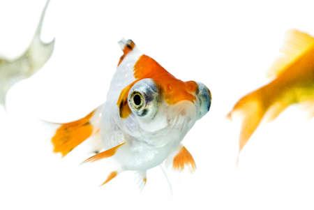 golden fish in water Stock Photo - 11938477