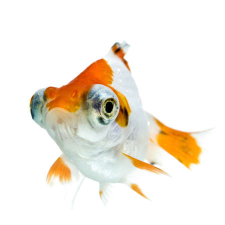golden fish in water Stock Photo - 11938466