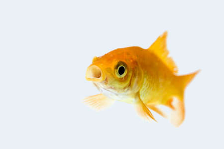 golden fish in water Stock Photo - 11938467